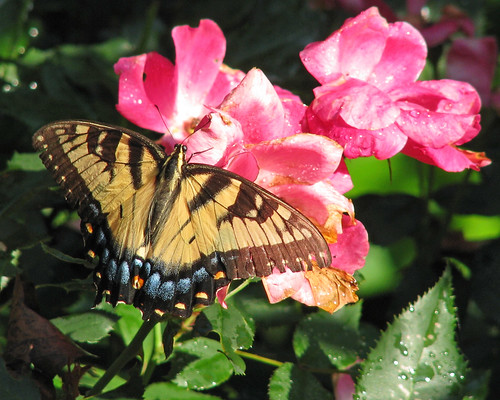 Tiger rests in the knock-out roses