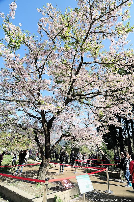 阿里山櫻花季79