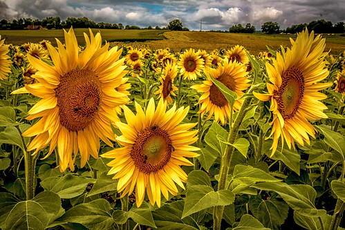 """Sonnenblumen - Extrembearbeitung • <a style=""""font-size:0.8em;"""" href=""""http://www.flickr.com/photos/91404501@N08/26910722873/"""" target=""""_blank"""">View on Flickr</a>"""