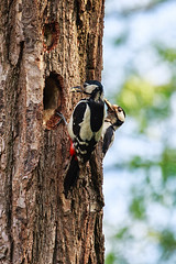 "Parent Woodpeckers delivering food to their nest, Trap Grounds, June 2013 (Matthew Skelton) • <a style=""font-size:0.8em;"" href=""http://www.flickr.com/photos/60890513@N06/8980759535/"" target=""_blank"">View on Flickr</a>"