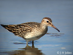 "Pectoral Sandpiper, Hayle, Sept 2005 (J H Johns) • <a style=""font-size:0.8em;"" href=""http://www.flickr.com/photos/30837261@N07/10723815003/"" target=""_blank"">View on Flickr</a>"