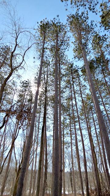 Pine stand - Long Path