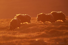 Backlit Musk Oxes experiencing heavy wind in the midnight sun.