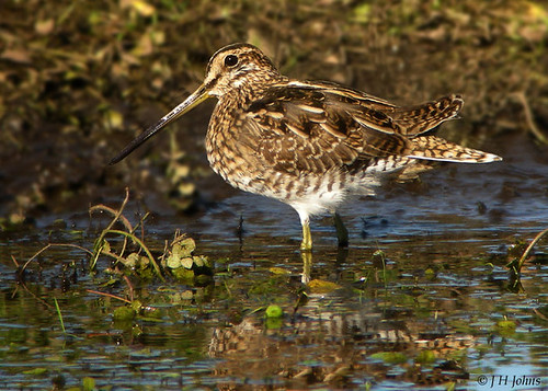 "Snipe (J H Johns) • <a style=""font-size:0.8em;"" href=""http://www.flickr.com/photos/30837261@N07/10723274514/"" target=""_blank"">View on Flickr</a>"