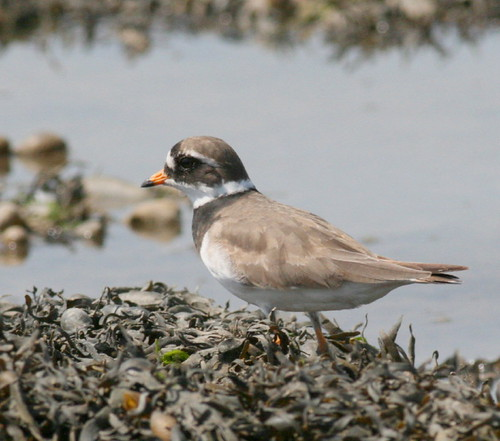 "Ringed Plover • <a style=""font-size:0.8em;"" href=""http://www.flickr.com/photos/30837261@N07/10723275696/"" target=""_blank"">View on Flickr</a>"