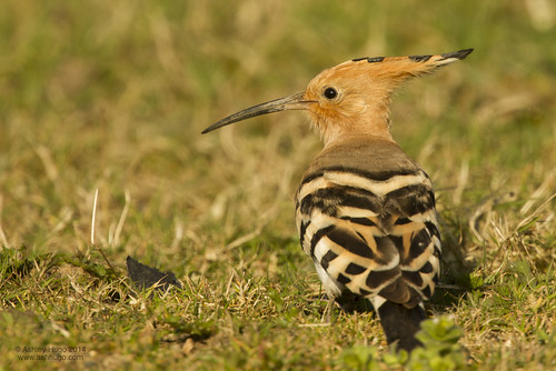 "Hoopoe, Polgigga, 15.03.14 (A.Hugo) • <a style=""font-size:0.8em;"" href=""http://www.flickr.com/photos/30837261@N07/13851755854/"" target=""_blank"">View on Flickr</a>"
