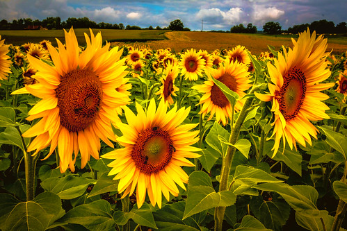 """Sonnenblumen - Extrembearbeitung • <a style=""""font-size:0.8em;"""" href=""""http://www.flickr.com/photos/91404501@N08/27420003792/"""" target=""""_blank"""">View on Flickr</a>"""