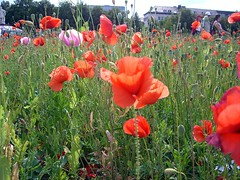 "Die Mohnblume. Der Mohn. • <a style=""font-size:0.8em;"" href=""http://www.flickr.com/photos/42554185@N00/14187269675/"" target=""_blank"">View on Flickr</a>"