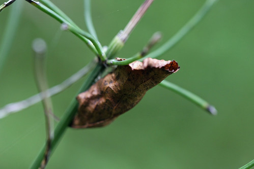 自然環境保全センターのチョウの蛹(Chrysalis of butterfly, Nature Environment Preservation Center, Kanagawa, Japan)