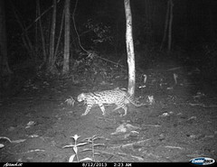 """leopard cat 2 BK- 14 • <a style=""""font-size:0.8em;"""" href=""""http://www.flickr.com/photos/109145777@N03/13794906184/"""" target=""""_blank"""">View on Flickr</a>"""