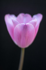Pink Tulip 2 of 3