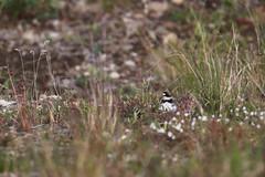 Semipalmated Plover | flikstrandpipare | Charadrius semipalmatus