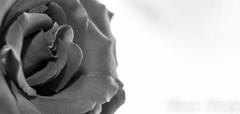 B&W Rose Closeup