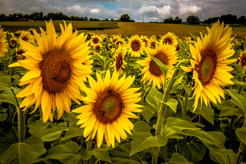 """Sonnenblumen - Extrembearbeitung • <a style=""""font-size:0.8em;"""" href=""""http://www.flickr.com/photos/91404501@N08/27420006302/"""" target=""""_blank"""">View on Flickr</a>"""
