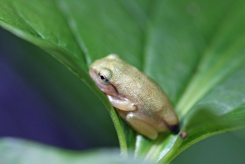 自然環境保全センターのカエルさん(Frog, Nature Environment Preservation Center, Kanagawa, Japan)