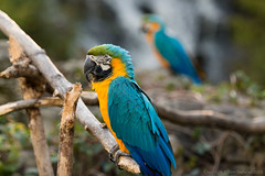 "Blue and Yellow Macaw • <a style=""font-size:0.8em;"" href=""http://www.flickr.com/photos/65051383@N05/9755589554/"" target=""_blank"">View on Flickr</a>"