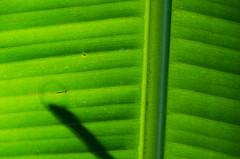 Daun Pisang (Banana Leaves)