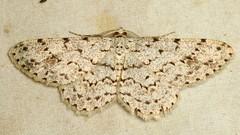 Geometer Moth, Geometridae