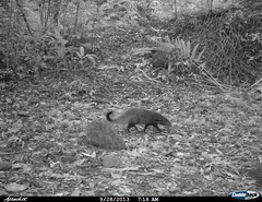 "stripe-necked mongoose1 BK-29 • <a style=""font-size:0.8em;"" href=""http://www.flickr.com/photos/109145777@N03/13794868354/"" target=""_blank"">View on Flickr</a>"