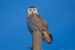 "Snowy Owl • <a style=""font-size:0.8em;"" href=""http://www.flickr.com/photos/65051383@N05/13037604525/"" target=""_blank"">View on Flickr</a>"