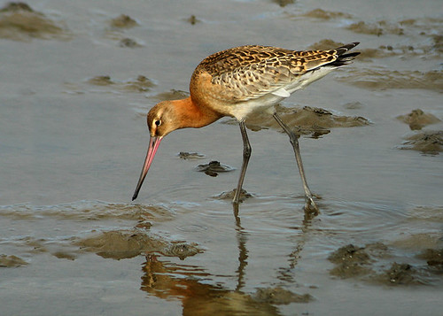 "Black-tailed Godwit • <a style=""font-size:0.8em;"" href=""http://www.flickr.com/photos/30837261@N07/10723256824/"" target=""_blank"">View on Flickr</a>"