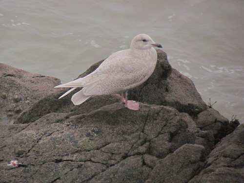 """Iceland Gull, St Ives 24.01.14 (V.Stratton) • <a style=""""font-size:0.8em;"""" href=""""http://www.flickr.com/photos/30837261@N07/12132727274/"""" target=""""_blank"""">View on Flickr</a>"""
