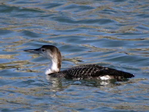 """Great Northern Diver, Newlyn harbour, 02.02.14,(G.Hobin) • <a style=""""font-size:0.8em;"""" href=""""http://www.flickr.com/photos/30837261@N07/12340127585/"""" target=""""_blank"""">View on Flickr</a>"""