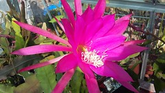 "Epiphyllum cv. Pfau • <a style=""font-size:0.8em;"" href=""http://www.flickr.com/photos/131160446@N02/27574897621/"" target=""_blank"">View on Flickr</a>"