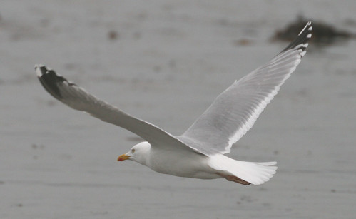 "Herring Gull • <a style=""font-size:0.8em;"" href=""http://www.flickr.com/photos/30837261@N07/10723174075/"" target=""_blank"">View on Flickr</a>"