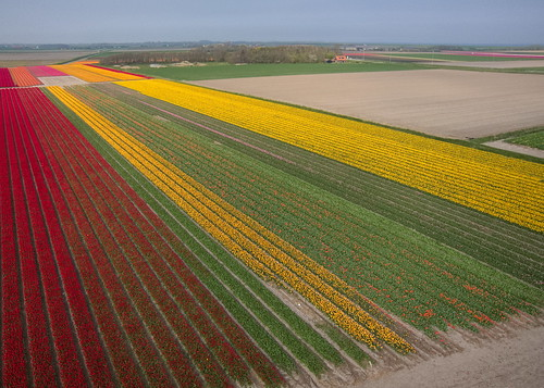 Tulip fields on Texel