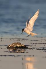 Sandwich Tern   kentsk tärna    Thalasseus sandvicensis