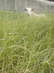 Chèvre Madérienne