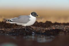 Sabine's Gull | tärnmås | Xema sabini ssp. woznesenskii