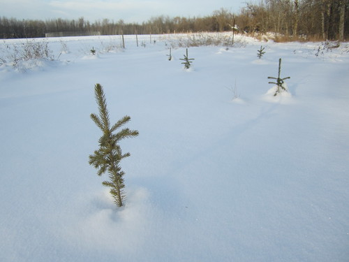 Little Spruce trees poking throught the snow