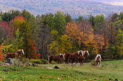 "Horses and Color, Vt • <a style=""font-size:0.8em;"" href=""http://www.flickr.com/photos/19514857@N00/15591944087/"" target=""_blank"">View on Flickr</a>"