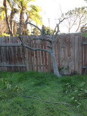 Dead Fig Tree Trimmed