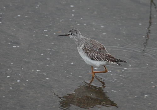 """Lesser Yellowlegs, Hayle, 14.11.14 M.Halliday • <a style=""""font-size:0.8em;"""" href=""""http://www.flickr.com/photos/30837261@N07/15662494000/"""" target=""""_blank"""">View on Flickr</a>"""