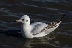 Juvenile black-headed gull