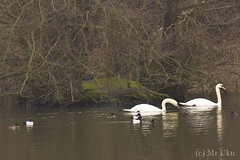 Swans and stuff