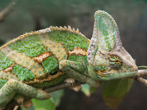 Veiled Chameleon by wwarby, on Flickr