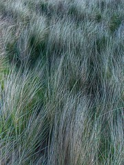 """Dune Grass • <a style=""""font-size:0.8em;"""" href=""""http://www.flickr.com/photos/76977745@N03/27354862510/"""" target=""""_blank"""">View on Flickr</a>"""
