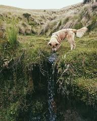 Savannah only drinks from the purest mountain springs. #theworldwalk #travel #ecuador