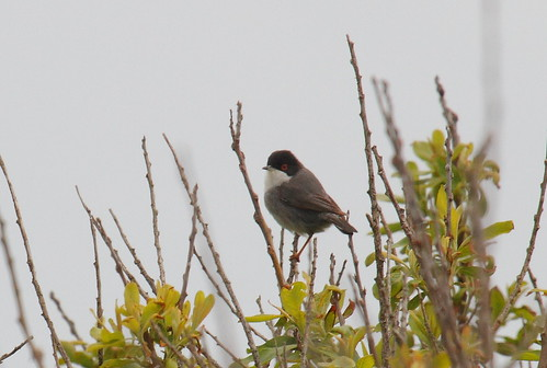"Sardinian Warbler, Lands End, 170515 (I.Maclean) • <a style=""font-size:0.8em;"" href=""http://www.flickr.com/photos/30837261@N07/17886093172/"" target=""_blank"">View on Flickr</a>"