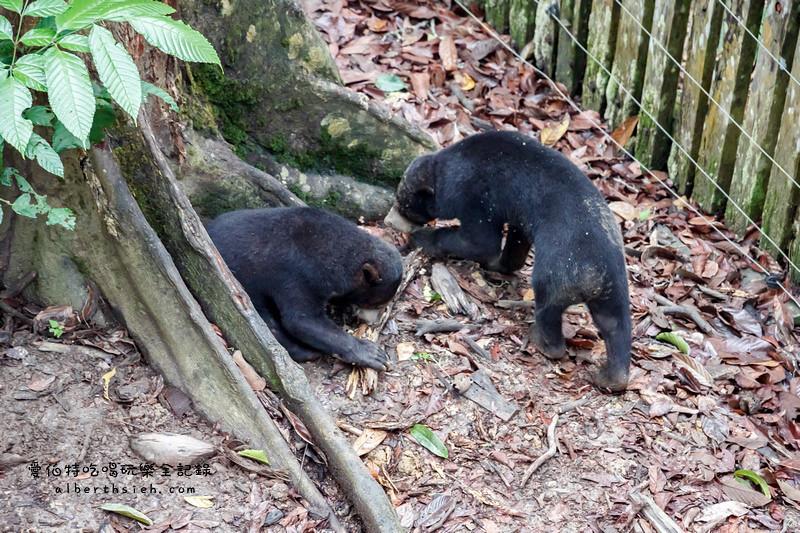 馬來西亞沙巴景點.山打根:馬來熊保育中心(跟臺灣黑熊一樣呆萌可愛) – 愛伯特吃喝玩樂全記錄