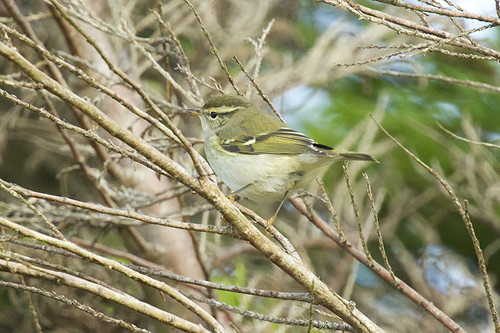 "Yellow-browed Warbler, Pendeen, 09.10.16 (A.Hugo) • <a style=""font-size:0.8em;"" href=""http://www.flickr.com/photos/30837261@N07/30197527916/"" target=""_blank"">View on Flickr</a>"