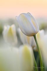 Evening Tulip