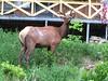 Pennsylvania wapiti, or elusive elk in Benezette