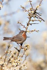 Eastern Subalpine Warbler | rödstrupig sångare | Sylvia cantillans