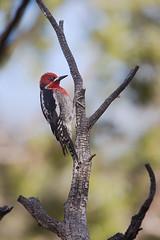 Red-breasted Sapsucker | rödhuvad savspett | Sphyrapicus ruber