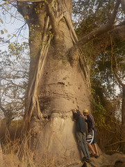 Baobab creux